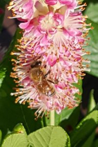 Photo credit: Meghan Barrett Apis mellifera, the Honey Bee