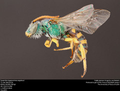 Agapostemon angelicus (public domain image, Lexi Roberts as part of 'Insects Unlocked')
