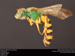Agapostemon splendens (public domain image, Lexi Roberts as part of 'Insects Unlocked')
