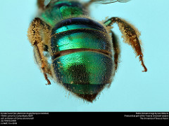 Augochloropsis metallica (public domain image, Lexi Roberts as part of 'Insects Unlocked')