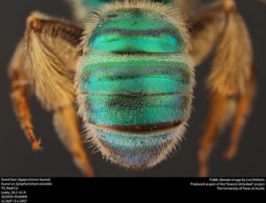 Abdomen of female Agapostemon texanus (public domain image, Lexi Roberts as part of 'Insects Unlocked')