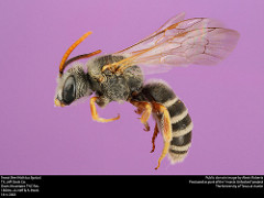 Halictus ligatus, public domain photo by Insects Unlocked and Alexis Roberts